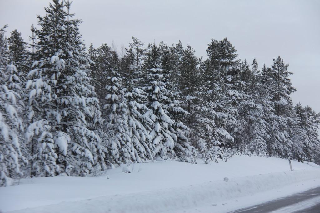 Flotte træer langs vejen, der tynges af sne.