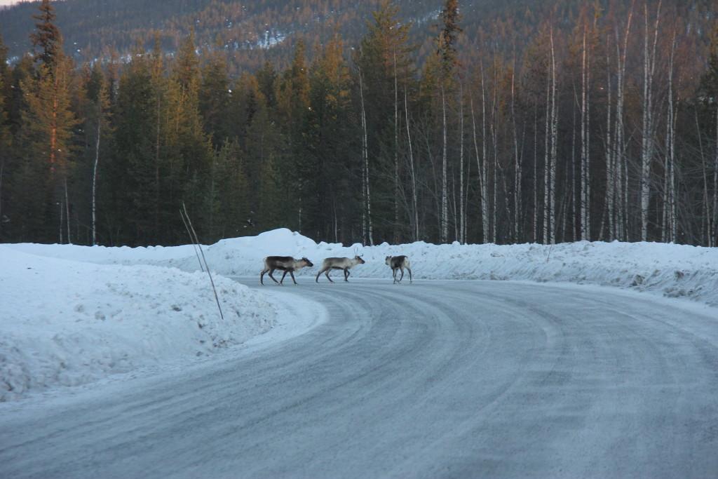 Rener på vejen er et kendt syn på disse kanter, men de lokale siger at der er mange i år fordi de ikke kan komme rundt i skovene pga. det store snefald, så renerne bruger vejene.