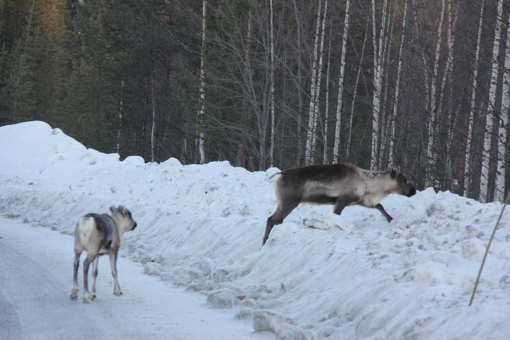 Renerne ved ikke lige hvad de vil og den lille ren ser ikke ud til at være vild med at komme ind i den dybe sne.