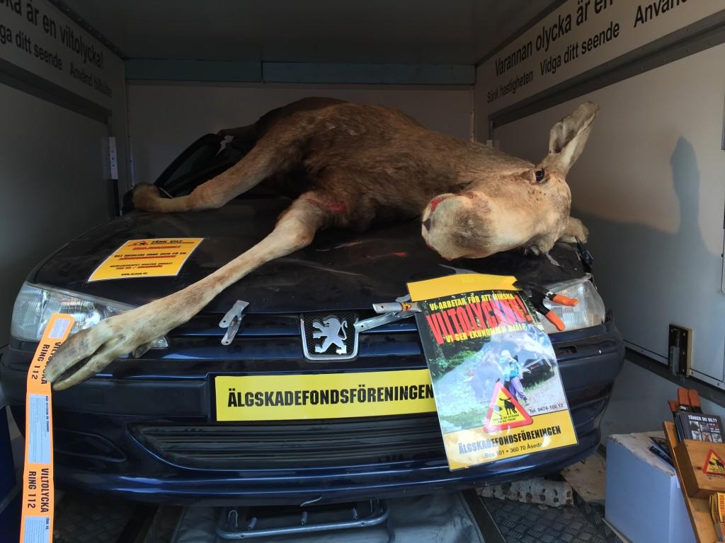 Fra Polarcirklen er vi kørt til markedet i Jokkmokk og stopper ved denne udstilling som fortæller at Elgene også er et meget stort problem man kan møde på landevejene. Det er absolut ikke lykken at få 800 kg varmt kød leveret lige gennem forruden. Det kommer man måske ikke til at få meget glæde af, hvis man er uheldig eller kører i en mindre bil. Så taber man mødet på samme måde som denne elg gjorde.