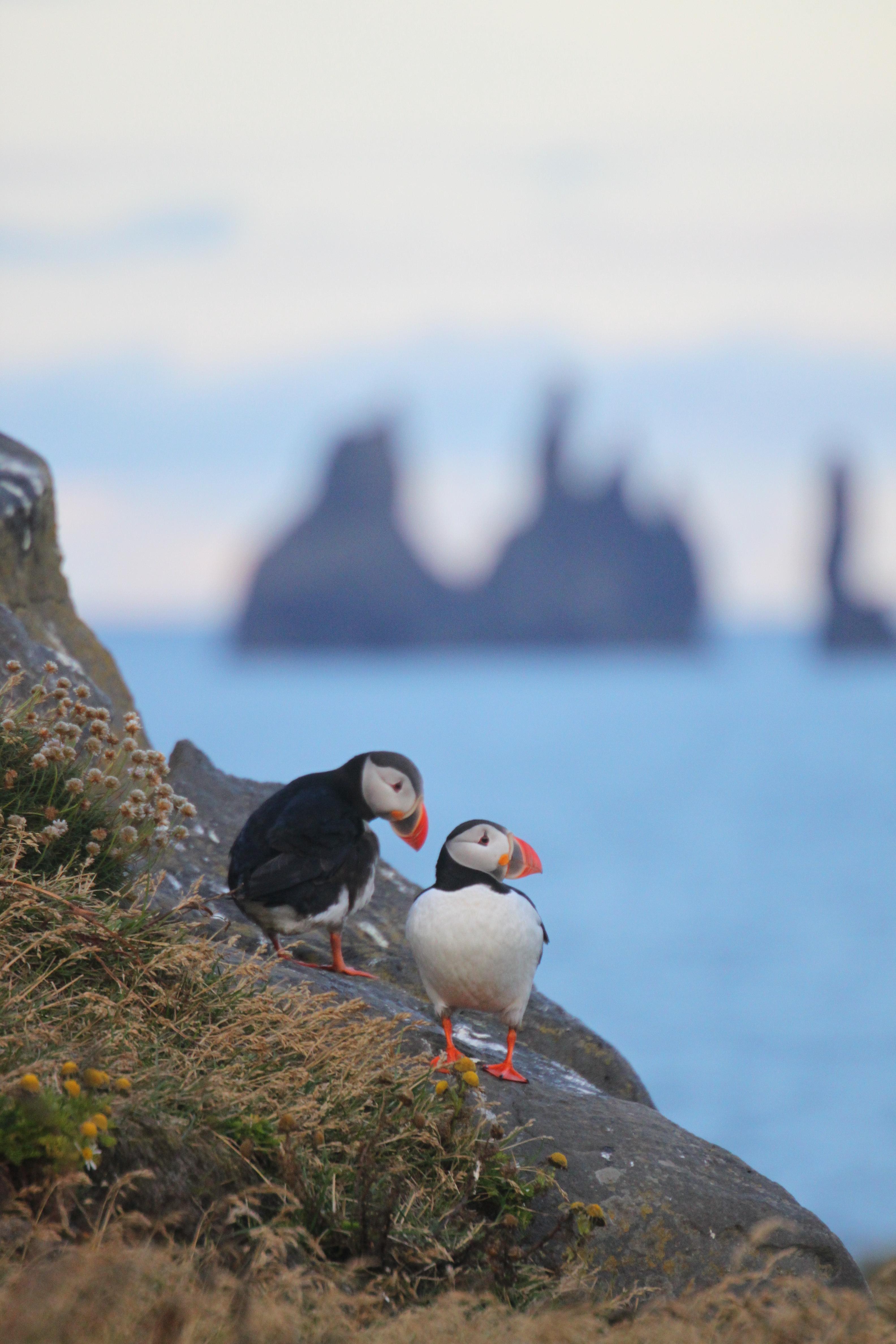 Søpapegøjerne også kaldet Lunde, er populære turistmål . Fuglene er både søde, kluntede og smukke.