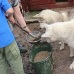 På tur til midnatssolens land – Del 4 – 41 hunde til middag
