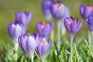 Forår og Krokus hører sammen